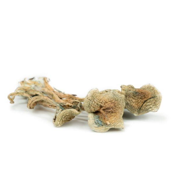 Psilocybe caerulescens magic mushrooms
