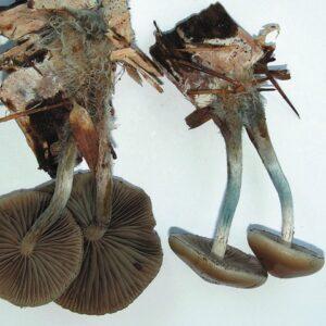 Psilocybe allenii Magic Mushrooms