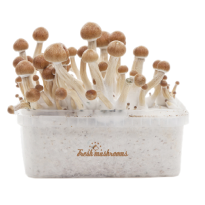 Magic Mushroom Grow Kit B+ XP by FreshMushrooms®