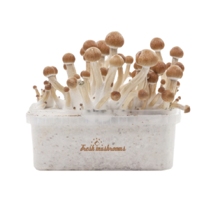 Magic mushroom grow kit Ecuador XP by FreshMushrooms®