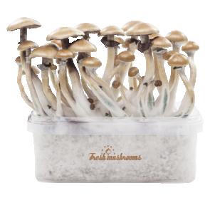 Magic mushroom grow kit Golden Teacher XP by Fresh Mushrooms®